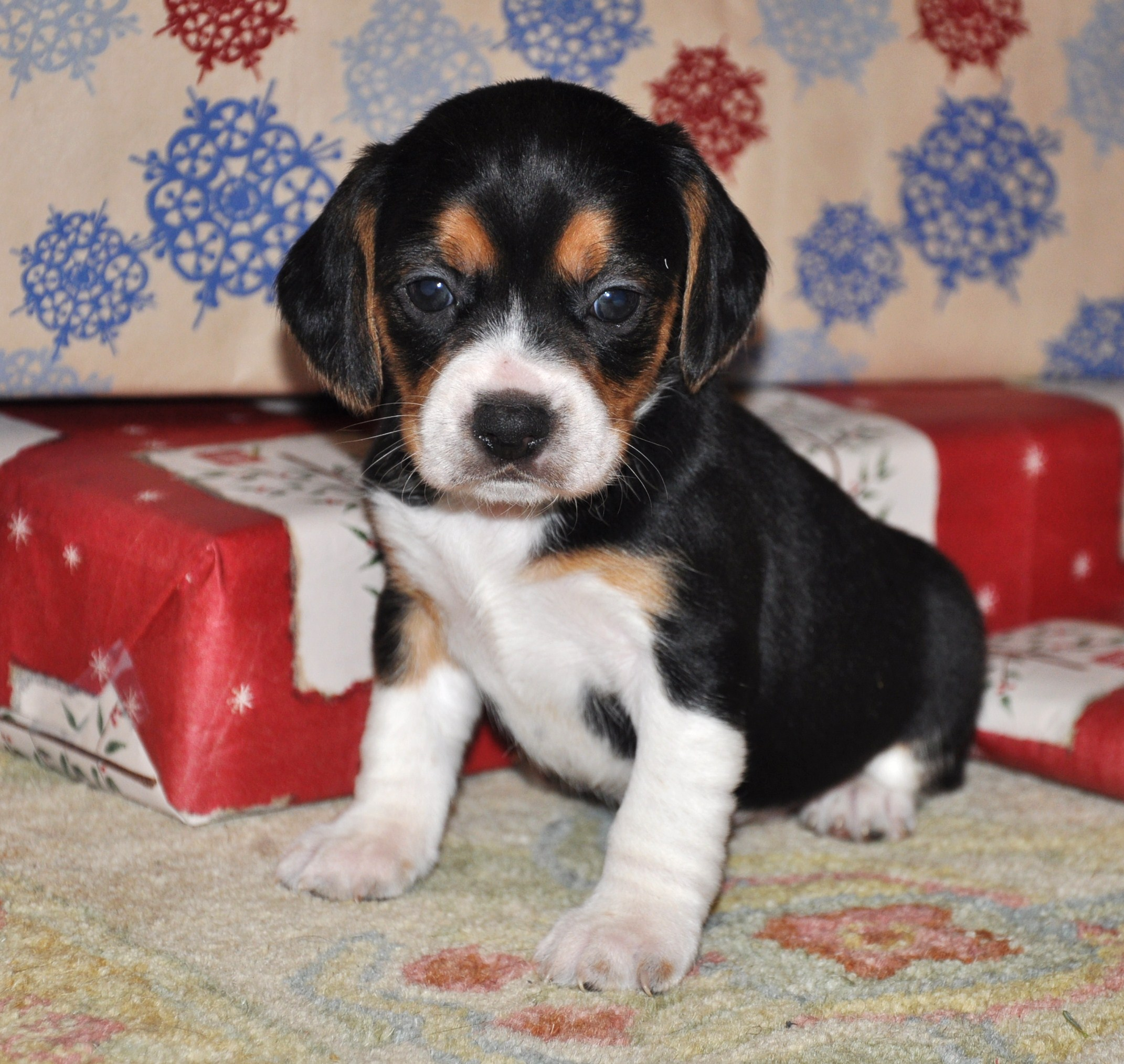 Miniature Beagles For Cake Ideas and Designs